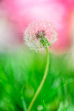Dandelion in Spring Royalty Free Stock Photography