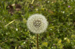 Dandelion in the spring. Close up picture of a dandelion in the spring Stock Photo