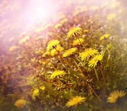 Dandelion in spring Royalty Free Stock Photos