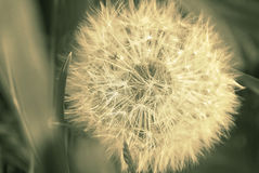 Dandelion on spring field. Vintage style sepia image Royalty Free Stock Photos