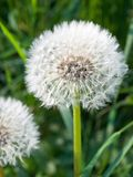 Dandelion, spring flower royalty free stock photo