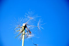 Dandelion. A spring flower on a background of the blue sky Royalty Free Stock Photo