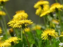 Dandelion, spring flower Stock Photography