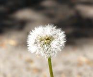 Dandelion, spring flower. Light nature background Stock Photo
