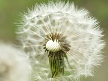 Dandelion. A faded dandelion. Boke. Dandelion. Spring flowering. A faded dandelion. Boke royalty free stock images