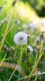Dandelion spring flowers background Royalty Free Stock Photos