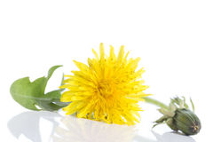 Dandelion - spring flowers. Yellow flowers isolated on white background. Dandelion - spring flowers. Yellow flowers on white background Royalty Free Stock Images