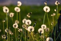 Dandelion in spring light royalty free stock image