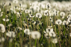 Dandelion on spring meadow Stock Photography