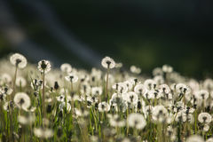 Dandelion on spring meadow Royalty Free Stock Photos