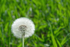 Dandelion in spring nature Stock Photo