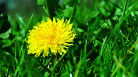 Dandelion in Spring Sun. First Dandelion.A dandelion is a flower. Its scientific name is Taraxacum, a large genus of flowering plants in the family Asteraceae stock footage