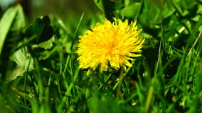 Dandelion in Spring Sun. First Dandelion.A dandelion is a flower. Its scientific name is Taraxacum, a large genus of flowering plants in the family Asteraceae stock video footage
