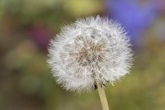 A dandelion on a  dappled background Stock Images