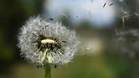 Dandelion in the spring wind royalty free stock photos