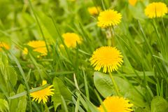 Dandelion by springtime Royalty Free Stock Images