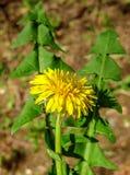 Dandelion in springtime Stock Photos