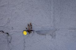 Dandelion sprouts through the concrete floor. The symbol of struggle and resistance. Concept: don `t give up no matter what,. Nothing is impossible. Yellow royalty free stock photo