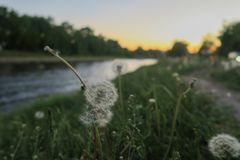 Dandelion in the sunset royalty free stock photography