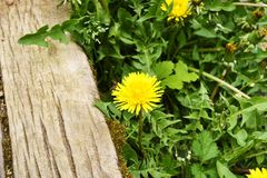 Dandelion at the stairs. Dandelion in the old wooden stairs Royalty Free Stock Photography