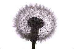 dandelion stary Obrazy Stock