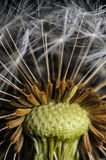 Dandelion stem Stock Images