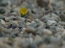 Dandelion in stones. Alone dandelion in stones, back focus stock footage