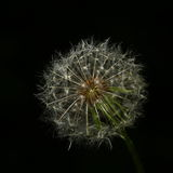 Dandelion story Royalty Free Stock Photo