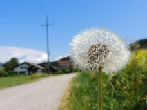 Dandelion by the street. Dandelion with a small spider on a border of a street and a wheat field Stock Photography