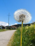 Dandelion by the street. Dandelion with a small spider on a border of a street and a wheat field Royalty Free Stock Image