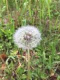 Dandelion summer. Dandelion in summer Royalty Free Stock Images