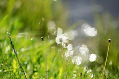 Dandelion. Summer. Bokeh. Royalty Free Stock Images