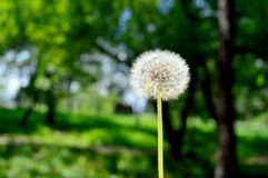 Dandelion in the summer in different states royalty free stock images