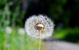 Dandelion in the summer in different states royalty free stock image