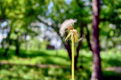 Dandelion in the summer in different states stock image