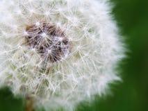 Dandelion on summer field Stock Images