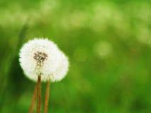 Dandelion on summer field Royalty Free Stock Image