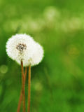 Dandelion on summer field Royalty Free Stock Photography