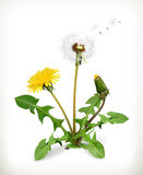 Dandelion, summer flowers. Vector illustration  on white background Royalty Free Stock Images