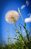 Dandelion on summer meadow Stock Photography