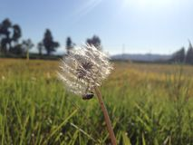 Dandelion in summer. Waiting for the next gust of wind to bring me on my next journey royalty free stock photo