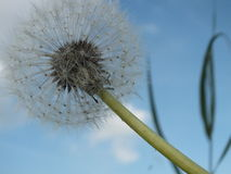 Dandelion on a summers day. Dandelion seeds waiting for the summers breeze to take them away Royalty Free Stock Images
