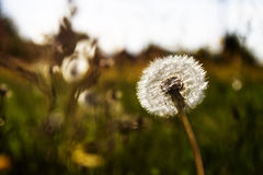 Dandelion in the sun. White dandelion on a meadow in the sun stock photos