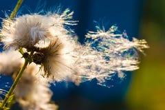 Dandelion on the sun