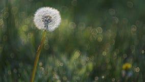 Dandelion in the sun. Isolated dandelion in a sea of grass stock image