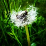 Dandelion in the sun stock photography