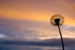 Dandelion on the sun rise Stock Photography