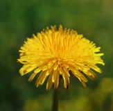 Dandelion in sun. Yellow dandelion basking in the sunshine Stock Photos