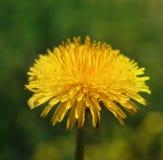 Dandelion in sun Stock Photos