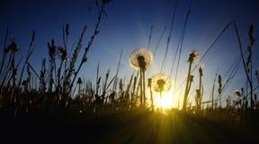 Dandelion on sundown. Sun big contrast big dark Stock Images